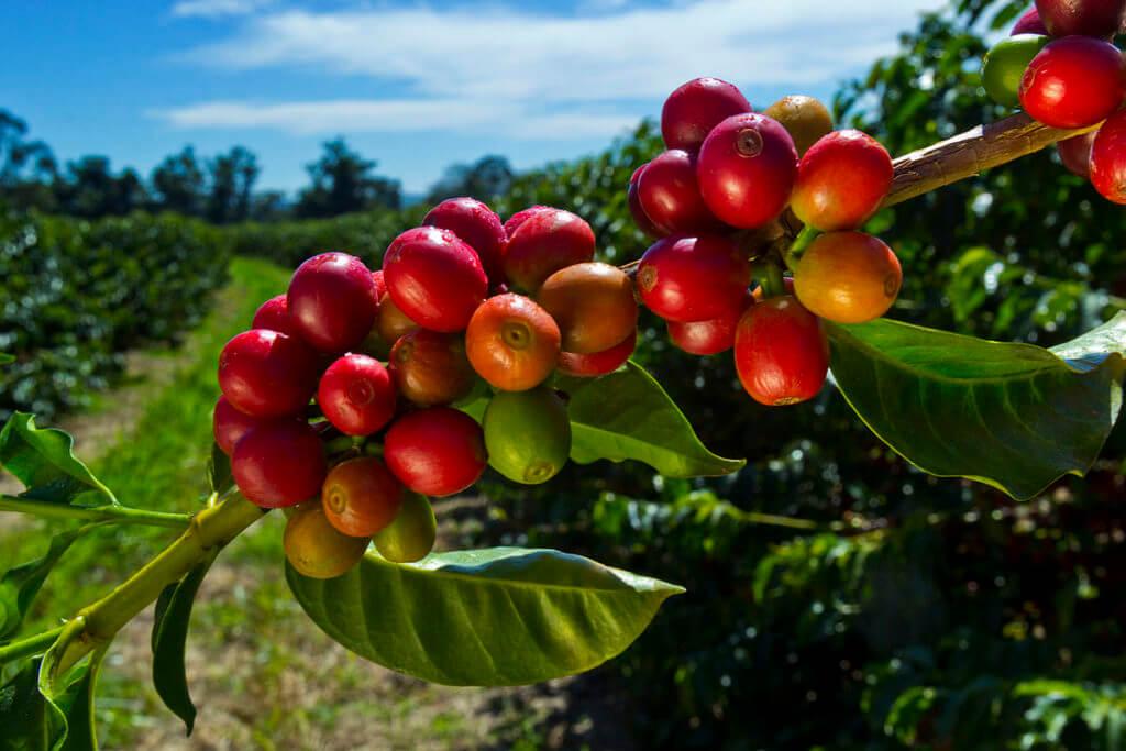 Boabe verzi de cafea