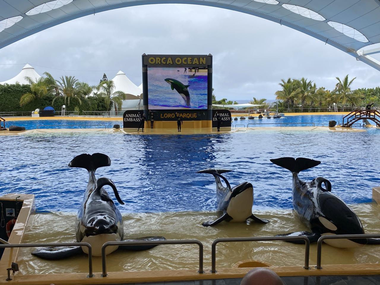 tenerife loro parque orci